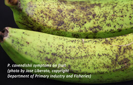 Banana freckle in the Territory