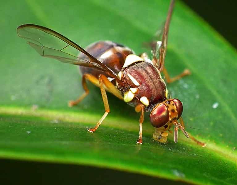 Major pests