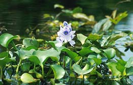 Water hyacinth sale on Facebook ends in court