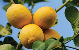 More measures to contain citrus disease