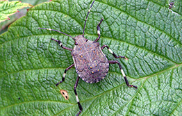 Look out for invasive 'hitchhiker' stink bug